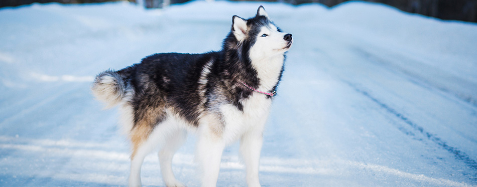 Alaskan malamute standing on snowy road at winter