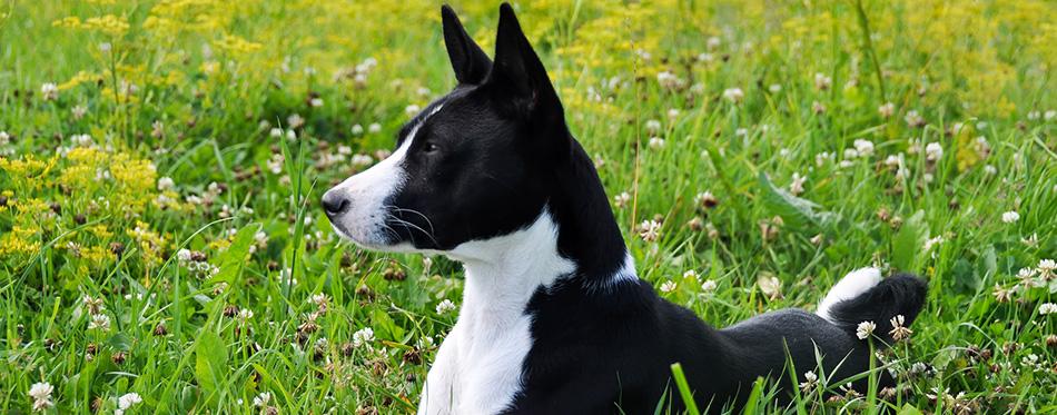 Basenji black dog on the grass