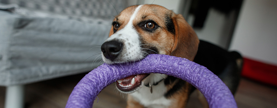 Beagle breed dog is playing with toys