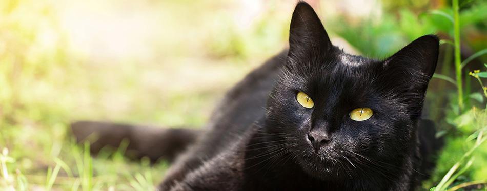 Beautiful bombay black cat portrait with yellow eyes