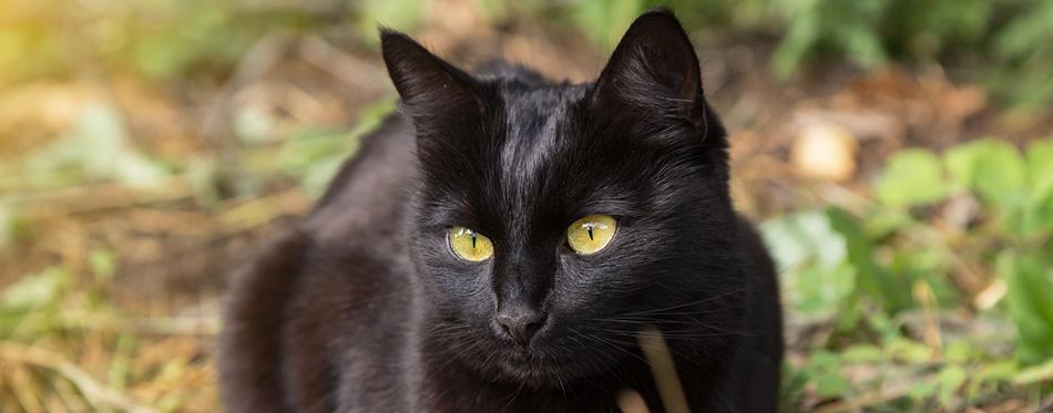 Beautiful bombay black cat