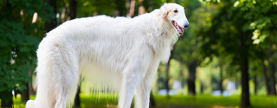 Beautiful dog breed Russian Borzoi standing