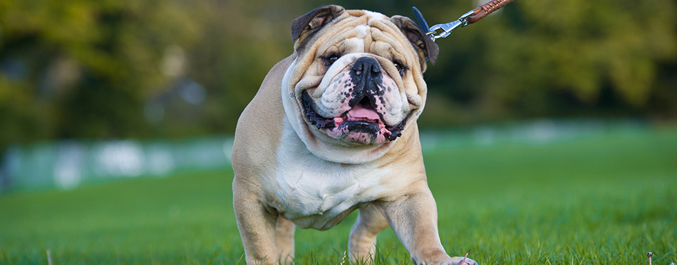 Beautiful dog english bulldog outdoors walking