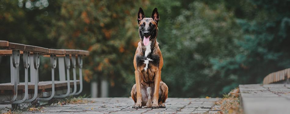 Belgian Shepherd dog (Malinois dog) at autumn park