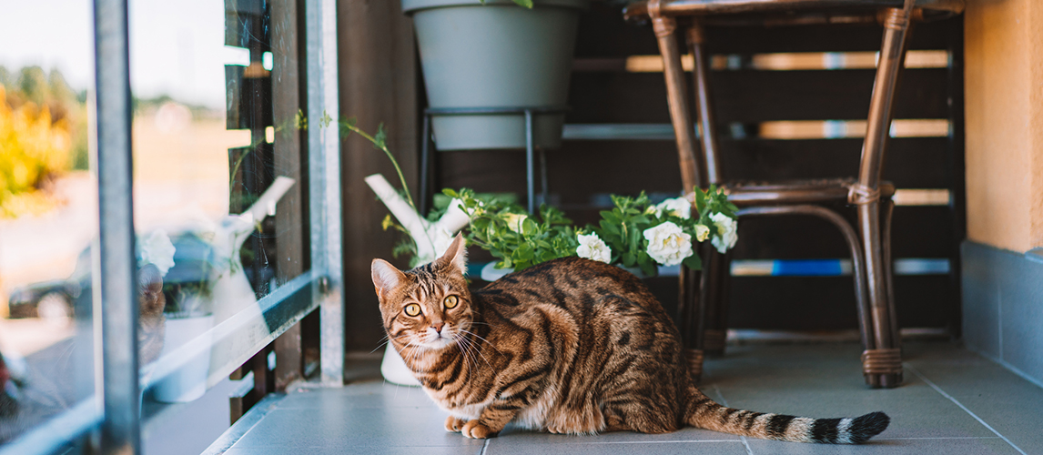 Bengal Cat Cat Breed Information Characteristics And Facts Pet Side