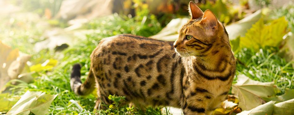 Bengal Cat playing in Garden