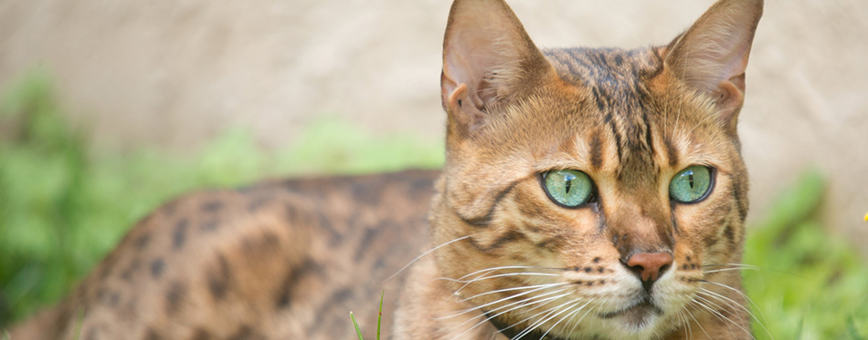 Bengal cat with very green eyes