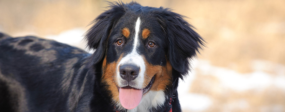 Bernese Mountain Dog winter portrait