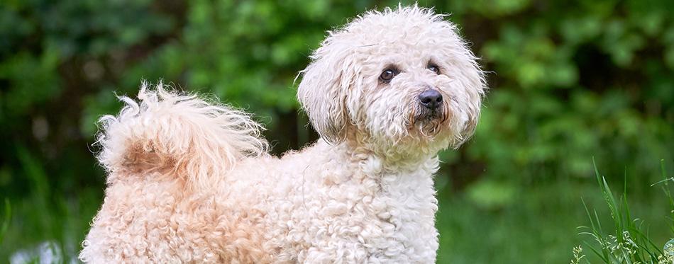 Bichon frise, beautiful white dog