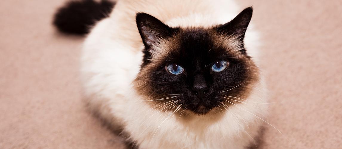 Birman cat on the carpet at home