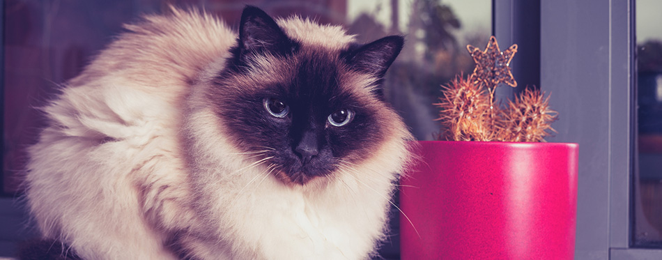 Birman cat sitting on window-sill with cactus