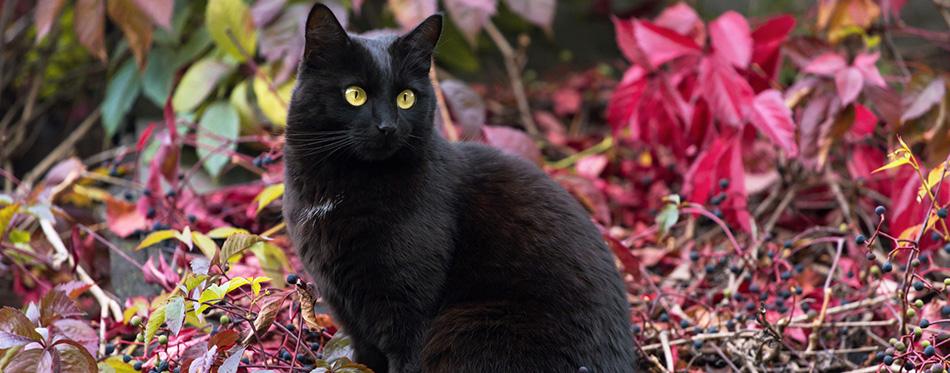 Black Bombay cat outdoor in autumn