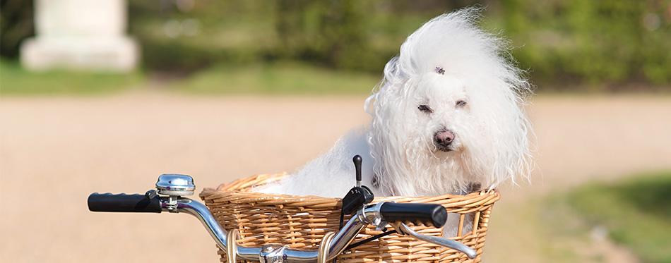 Bolognese dog in a basket