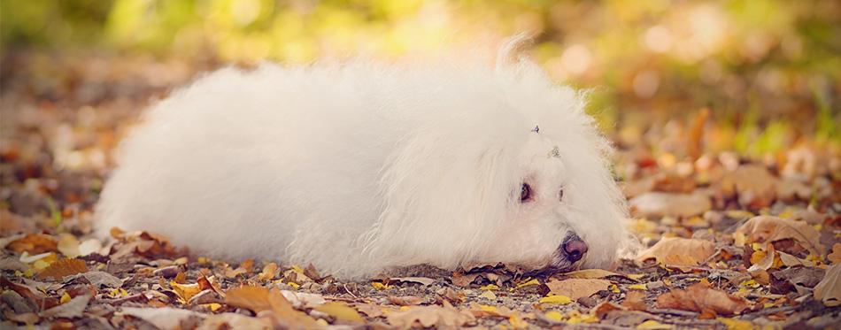 Bolognese dog lying on the leaves