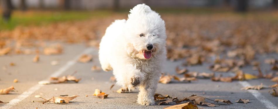 Bolognese dog running