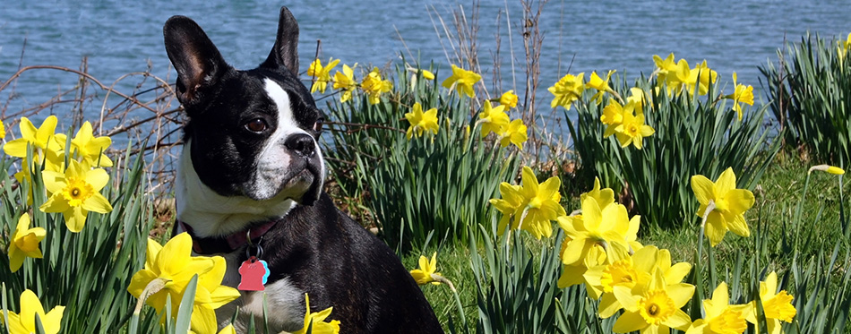 Boston Terrier sits in a field of daffodils