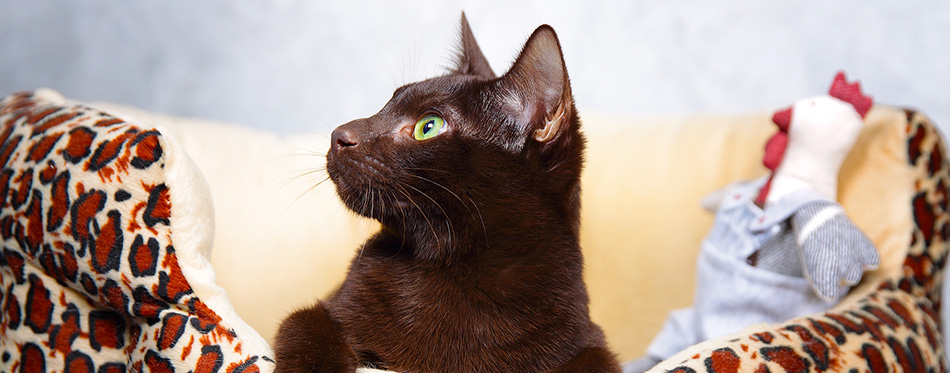 Brown Havana cat