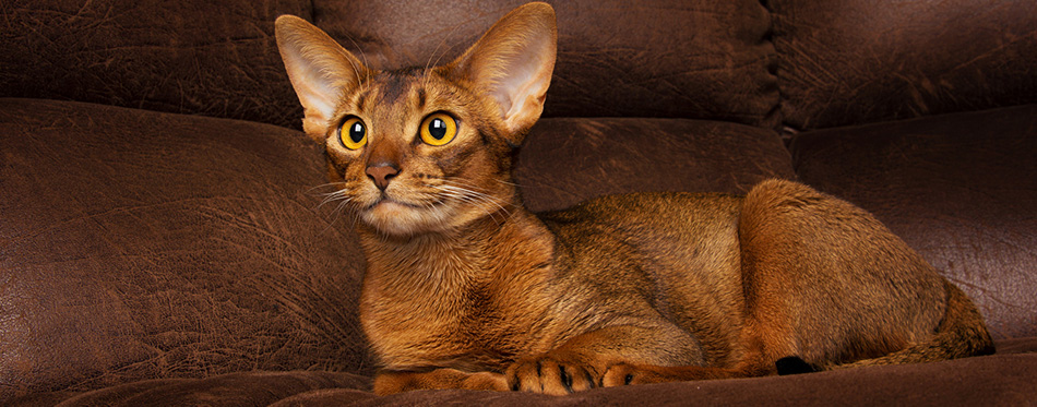 Calm purebred abyssinian cat lying on brown couch