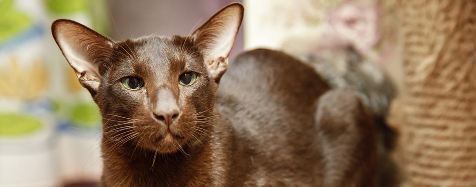 Cat Oriental chocolate brown stares