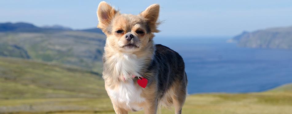 Chihuahua against Norwegian landscape