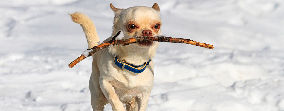 Chihuahuas running in the snow and has a branch
