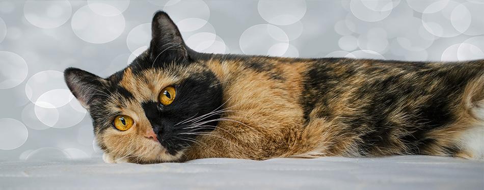Chimera Cat lying