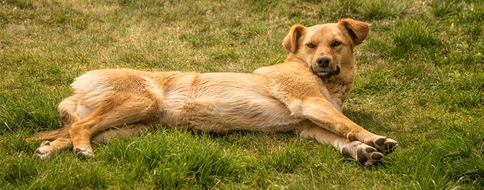 Chinook Dog lying