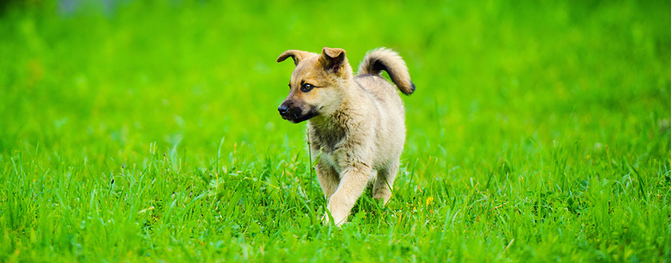 Chinook puppy