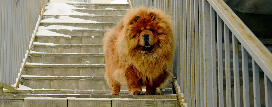 Chow Chow dog on the stairs