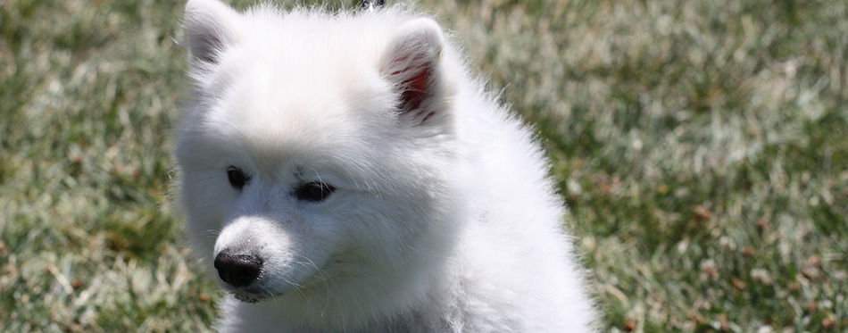 Close up of an American Eskimo dog
