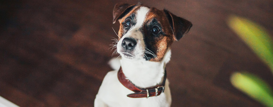 Cute Puppy Dog Jack Russell terrier looking at camera