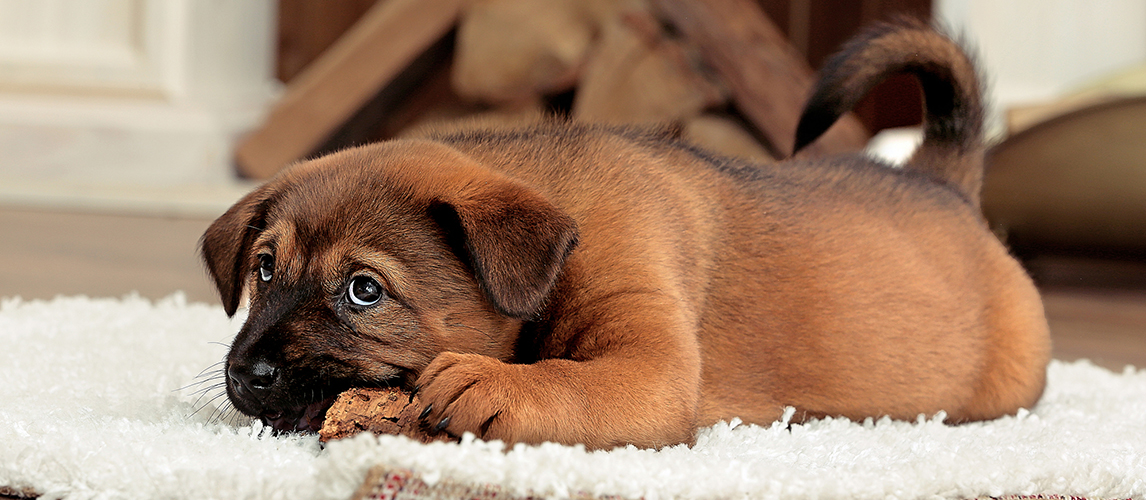 Cute puppy with rawhide on carpet