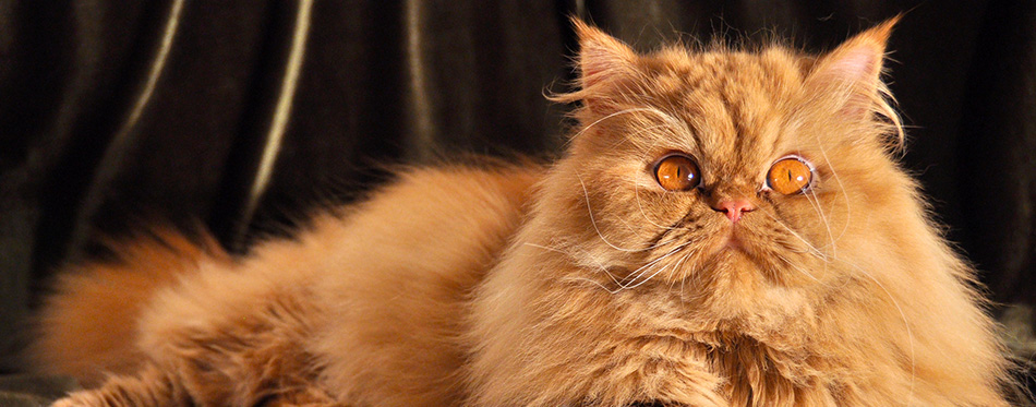 Cute red Persian cat portrait with big orange eyes