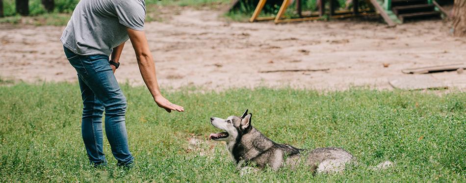 Cynologist and husky dog training lying command