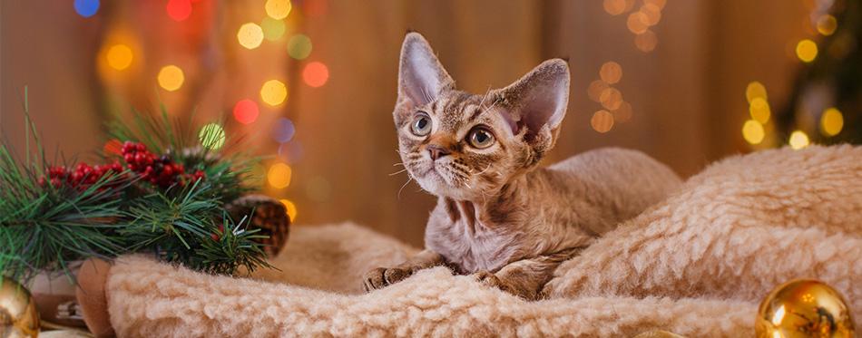 Devon Rex Cats