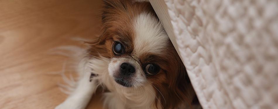 Dog Scared