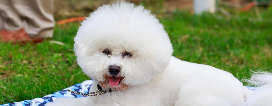 Dog breed Bichon Frize