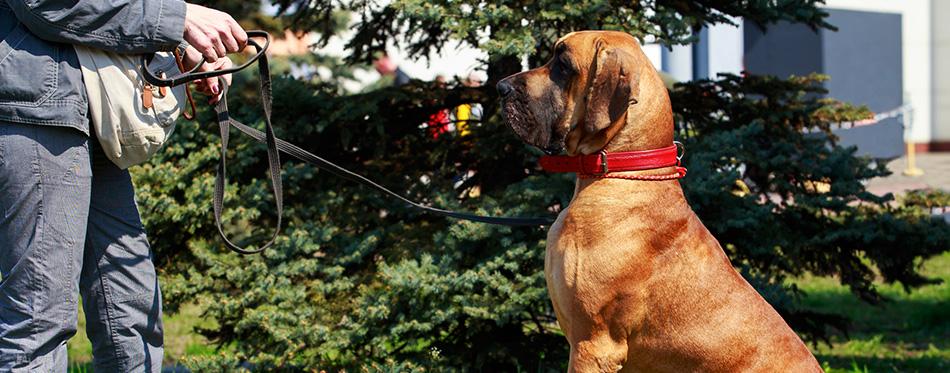 Dog breed Brazilian Mastiff