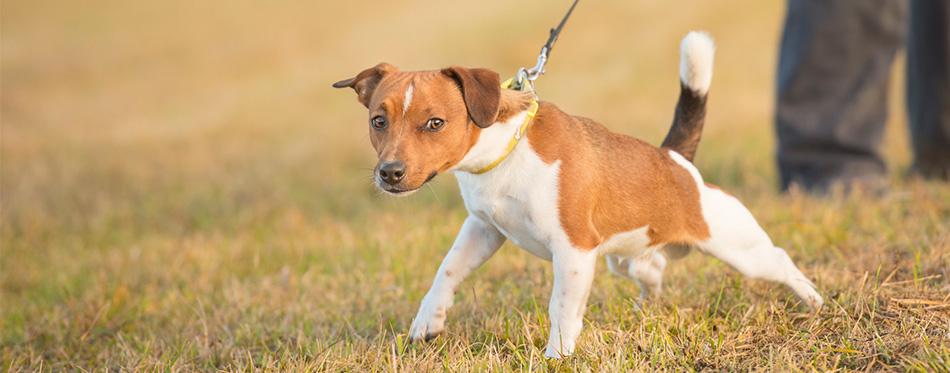 Dog on a leah