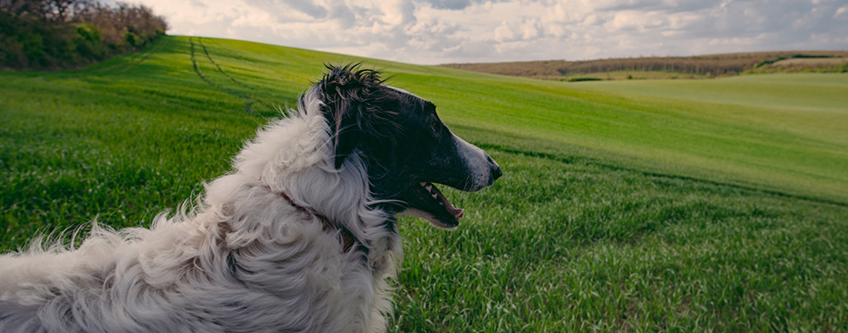 Dog portrait, Borzoi dog at field