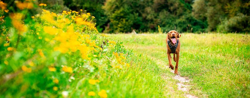 Dog running across the field