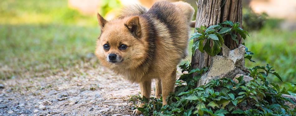 Dog urinating