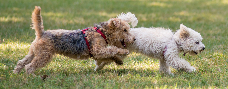 Dogs runnnig in the park