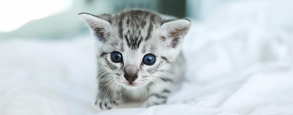 Egyptian Mau kitten