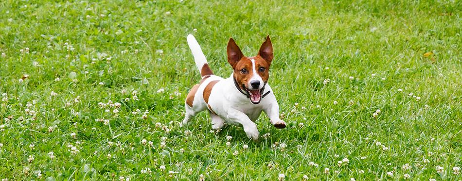 Feist dog running