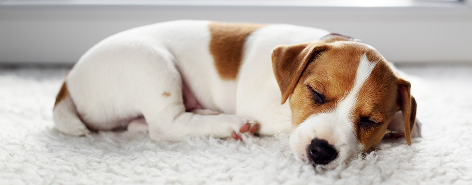 Feist puppy sleeping