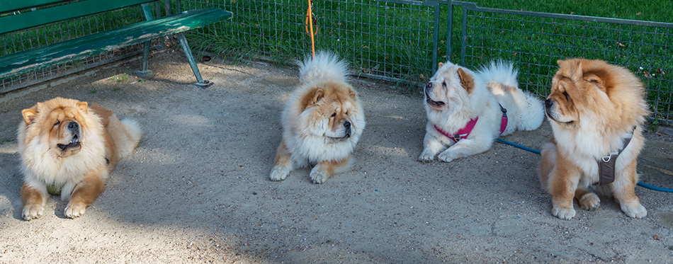 Four Chow Chow dogs