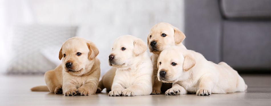 Four Labrador puppies