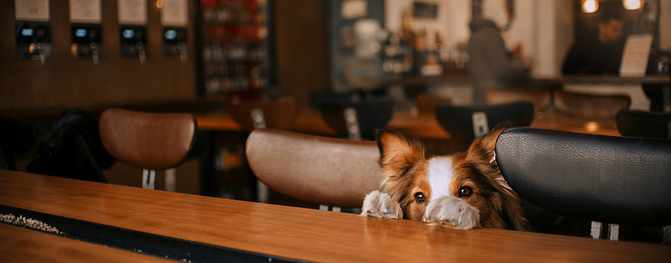 Funny border collie dog posing in a cafe