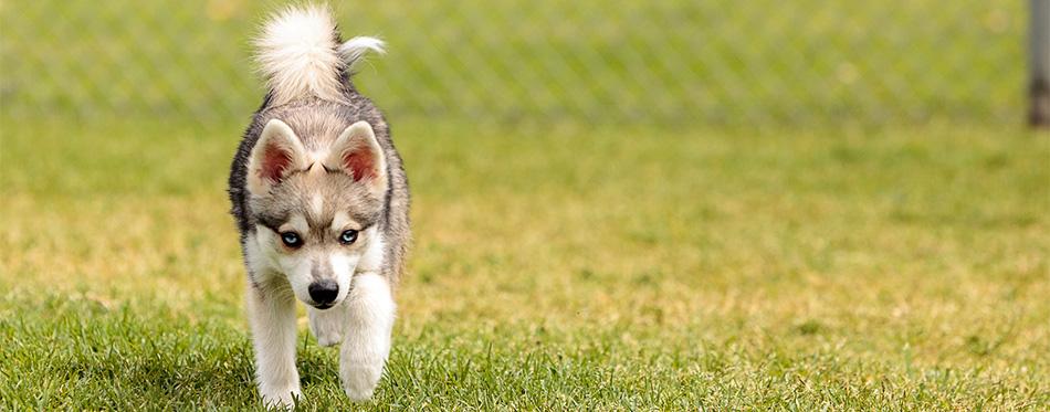 German Shepherd Husky Puppy Mix